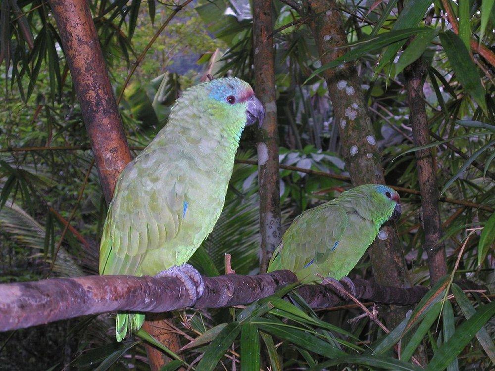 1200px-Amazona_festiva_in_the_Amazon_jungle.jpg