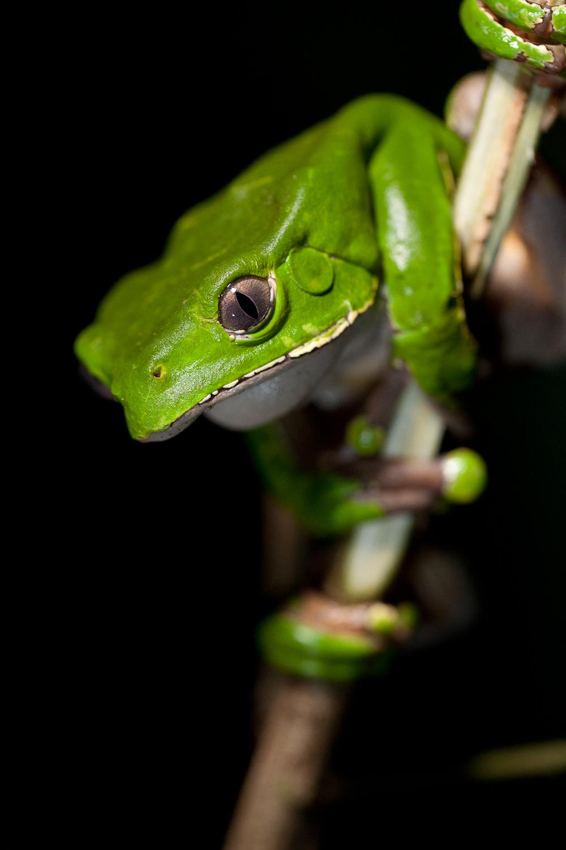 Kambo Frog