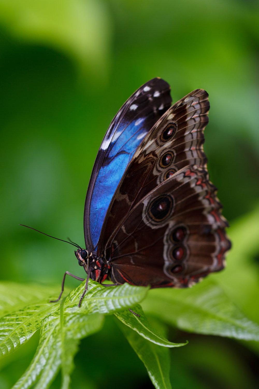morpho-butterfly.jpg