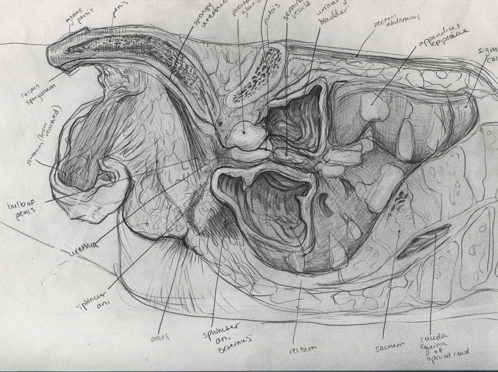 sagittal pelvic section m.jpg