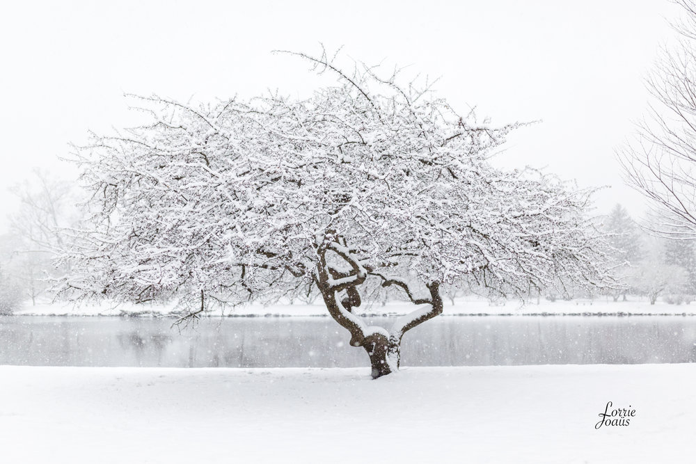 A cherry tree in the snow