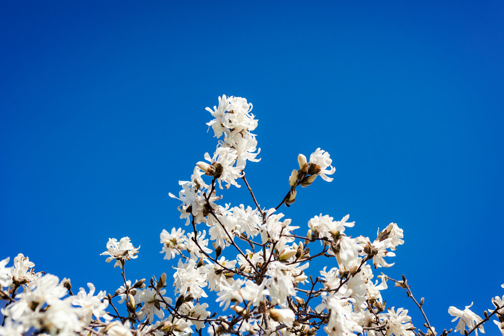 Spring blue sky and white flowers