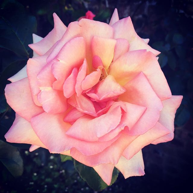 What a beauty 🌷#roses #blooms #prettythings #laceandblooms