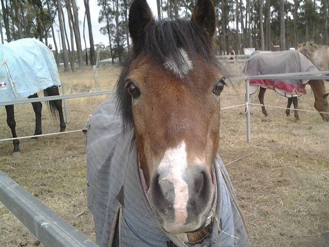 Polo cross pony