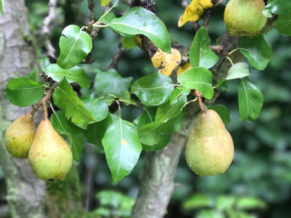 tree-ripe-pears
