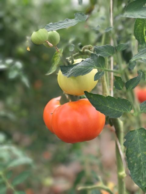 heirloom-tomato.jpeg