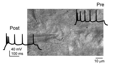 Paired recording of connected pyramidal neurons in L2/3