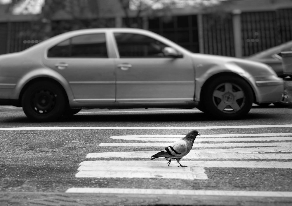 Pigeon Crossing