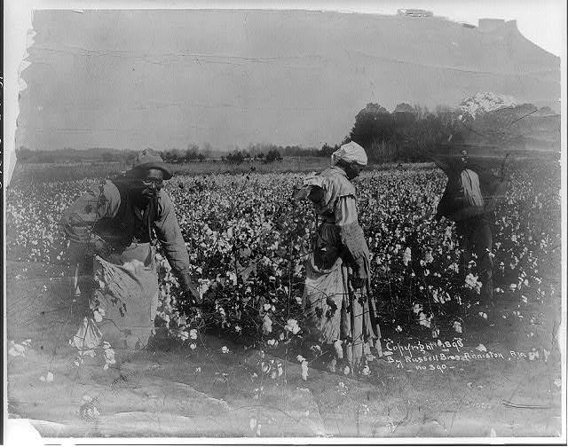 Cotton picking scene No. 390. (c. 1898) Photo Courtesy the Library of Congress.