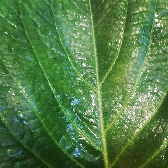 Sesame leaf | perilla 깻잎
