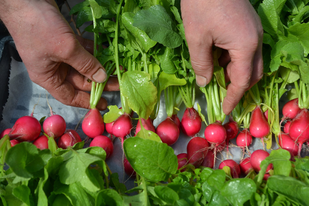 Greenhouse Radishes