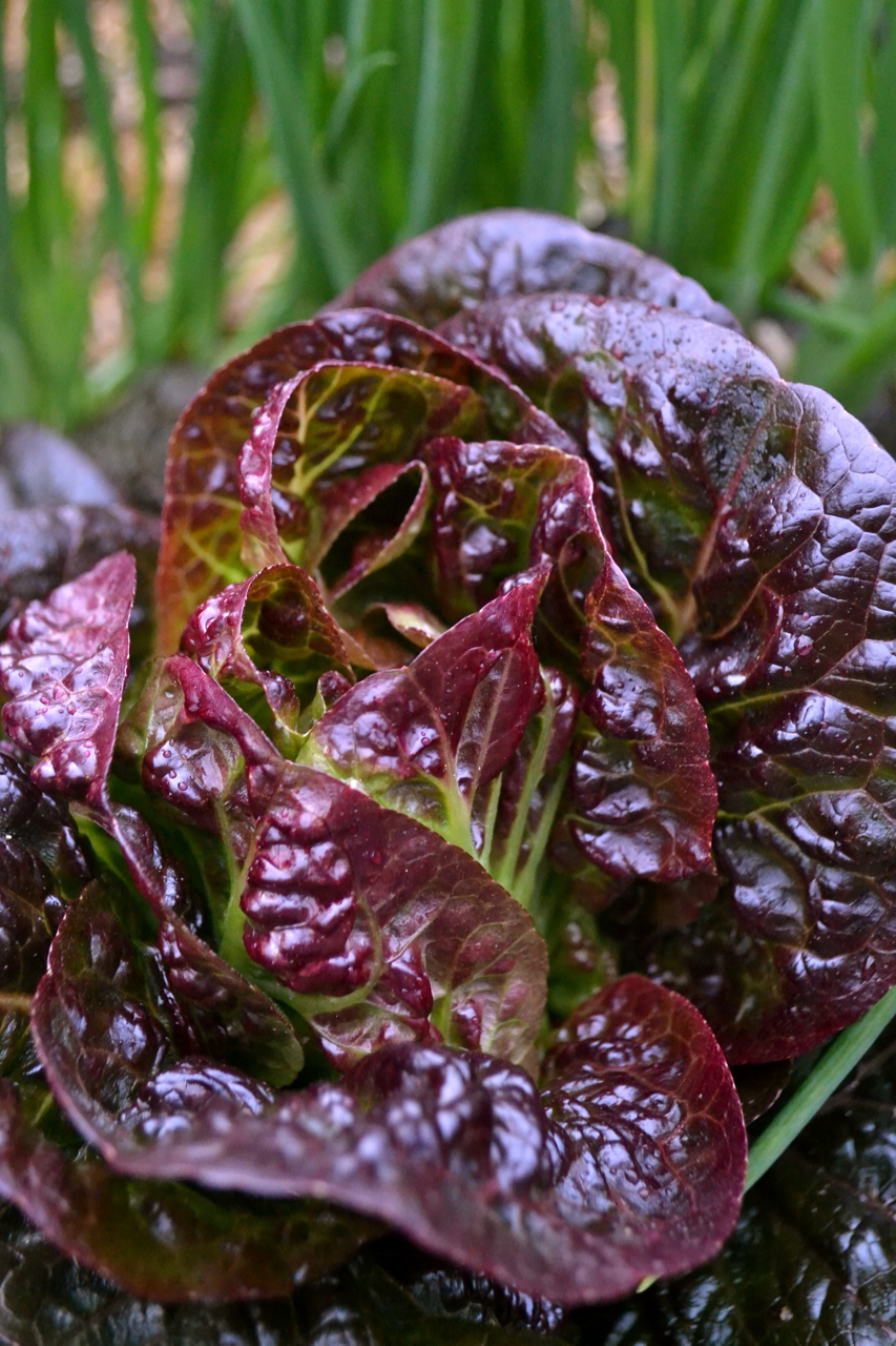 Pomegranate Crunch Lettuce