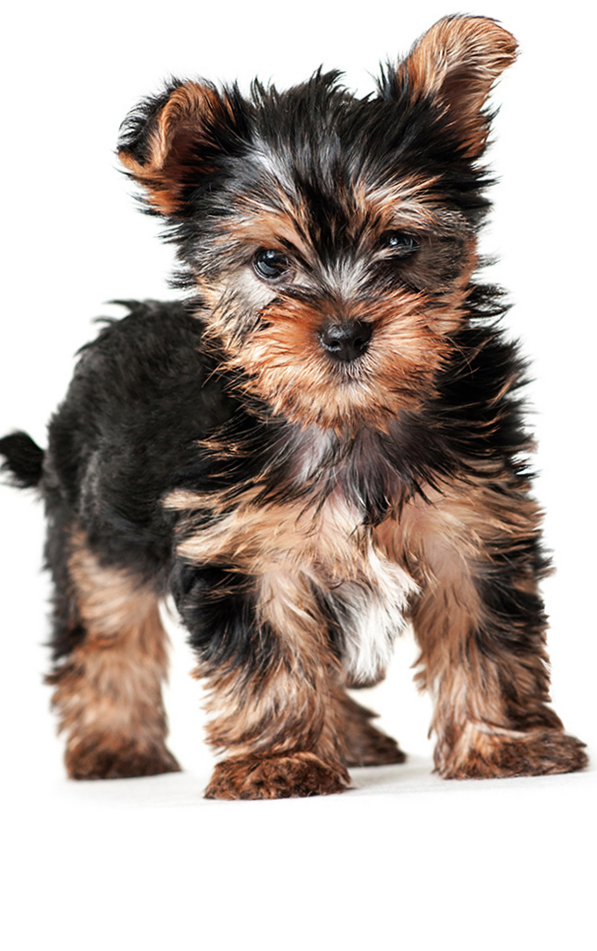 Yorkie Growth Stages �...