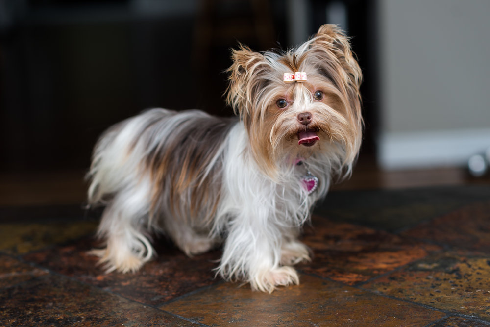 A Guide To Your Yorkie My Sunshine Yorkies
