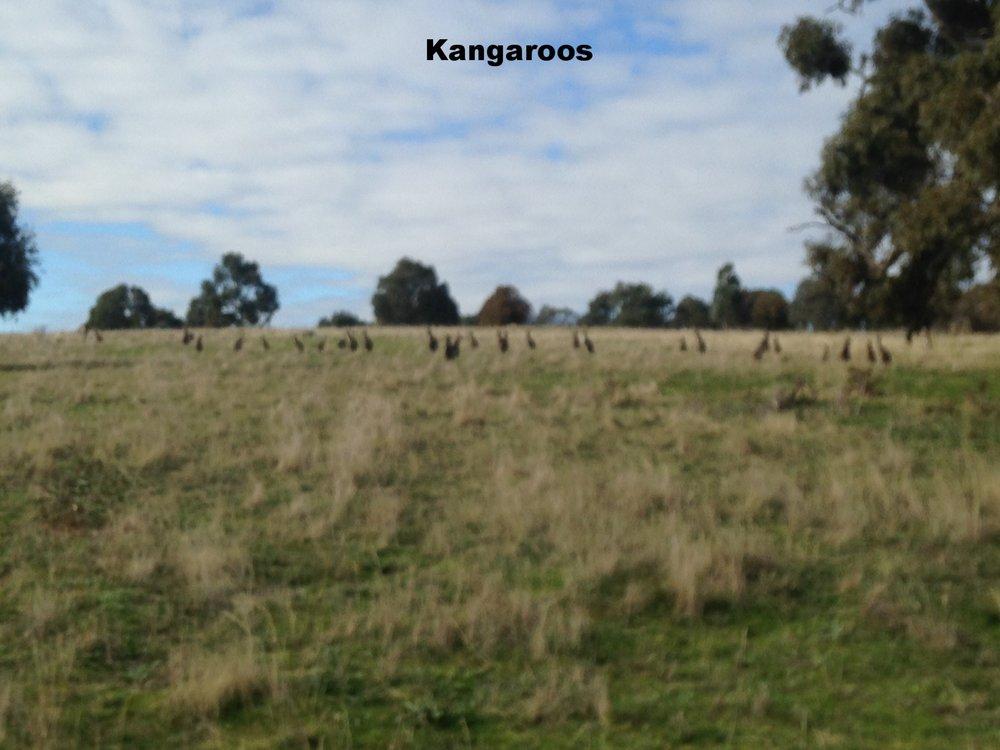 Kangaoos!