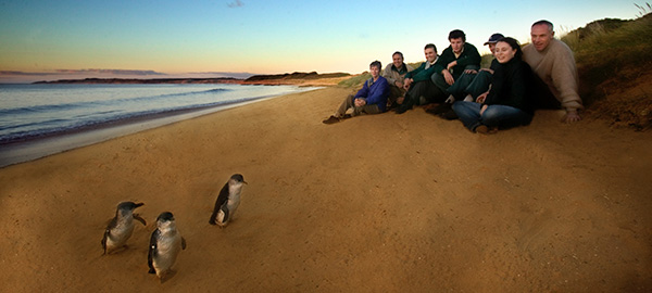 The Penguins Tour at Phillip Island - These magical fairy penguins stroll up the beaches around Dusk every night. This is included in our Phillip Island Tour Package- Ask us about Ranger Tours if you'd like to get this close!