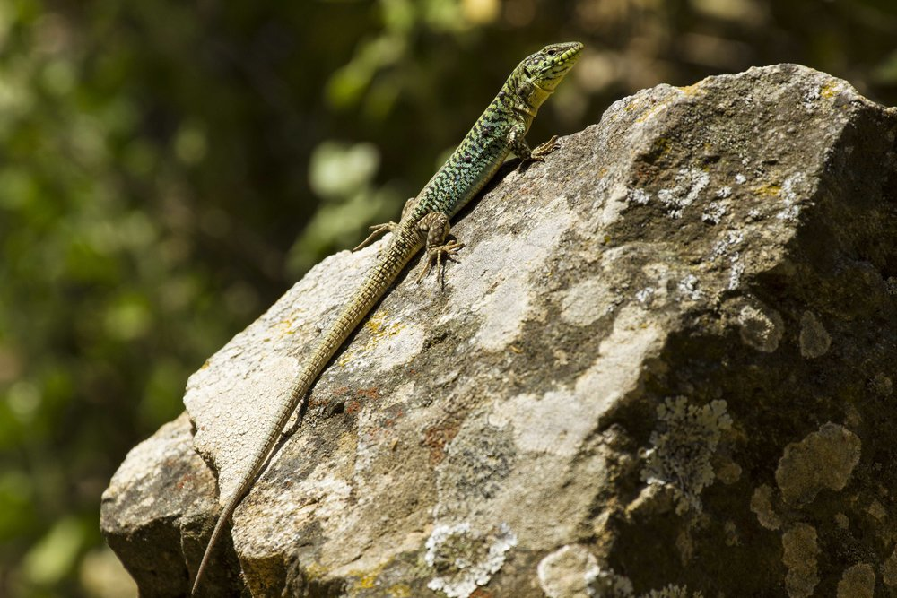 An Aegean Wall Lizard, so named because of its evolved habit to live and hunt in rock walls constructed around crop fields in Greece. Individuals living on the walls have different limb morphology and mobility than counterparts of their species that are found within their original sandy habitats, demonstrating their capacity to adapt and thrive in human developed landscapes.  Photo courtesy of Colin Donihue.
