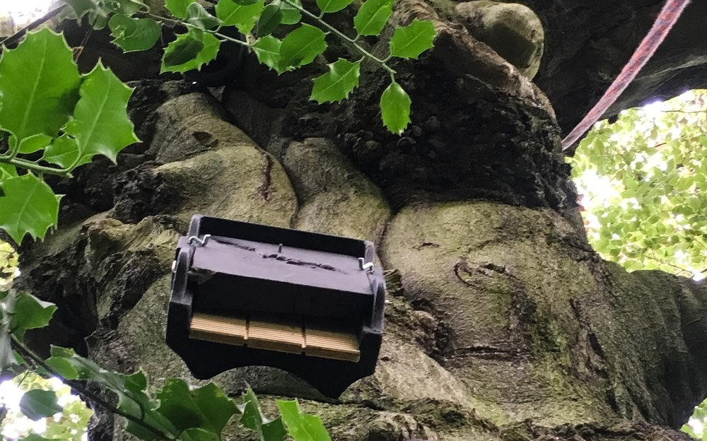 A Schwegler bat box, specified and installed by LSC ecologists on a retained mature beech tree to offset the loss of minor roosting opportunities in an adjacent building scheduled for demolition.