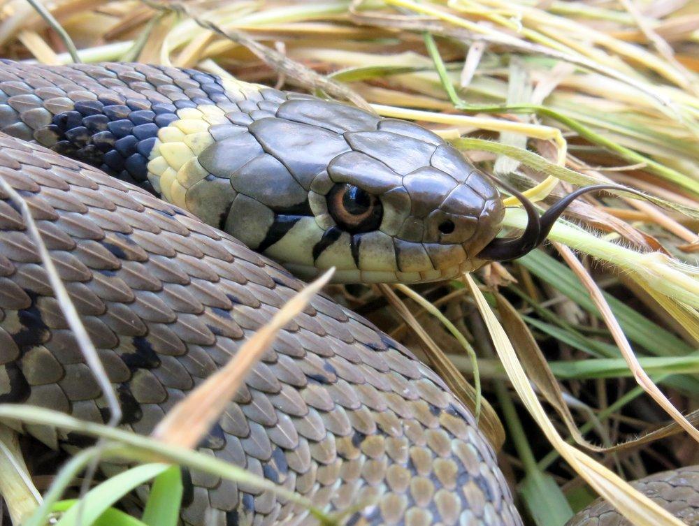 Grass snake basking under refugia