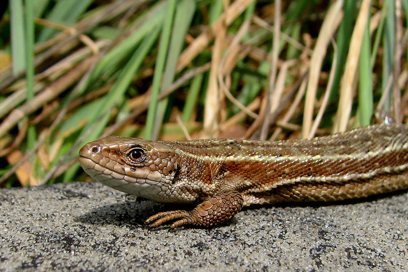 common lizard basking on a rock