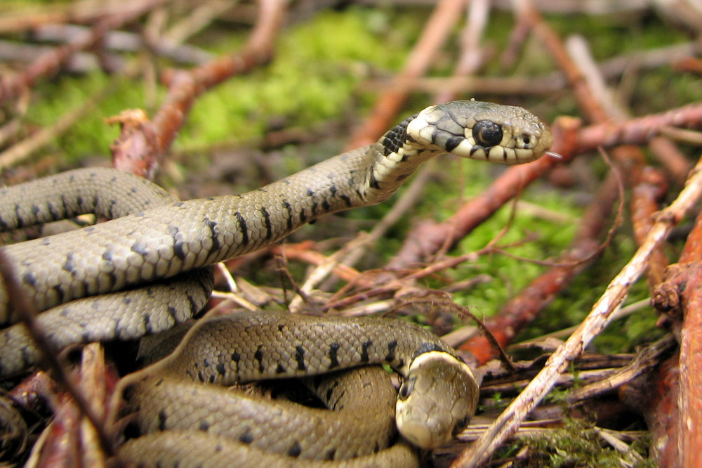 grass snake identified during survey