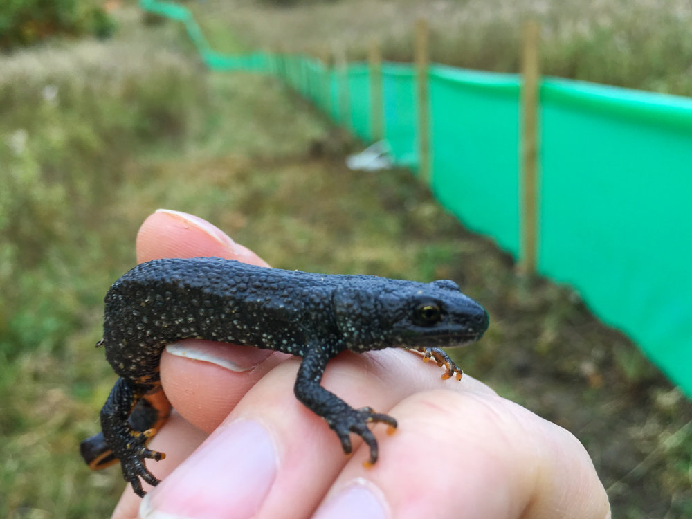 newt captured during trapping exercise