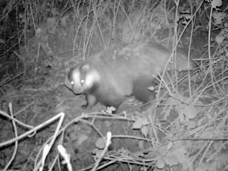 "A ""still"" taken from a trail-camera video of a badger leaving an outlier sett, thus demonstrating that the sett was currently in active use by the clan."