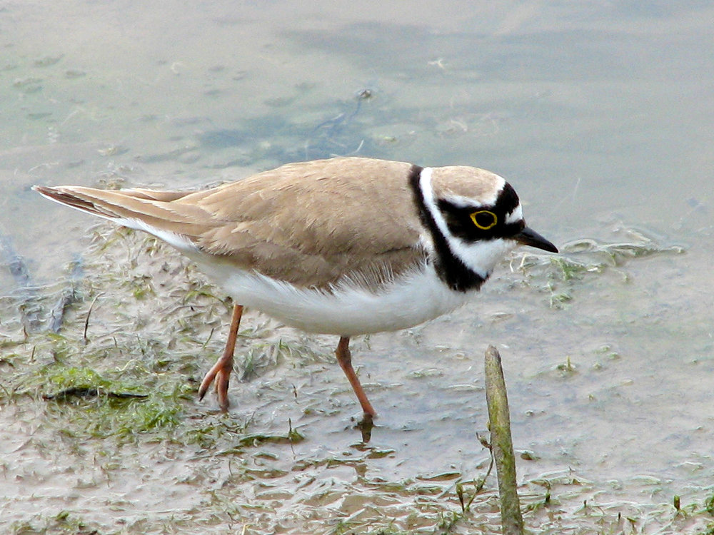A little ringed plover - one of the species which LSC has been commissioned to specifically survey on proposed Development Sites.