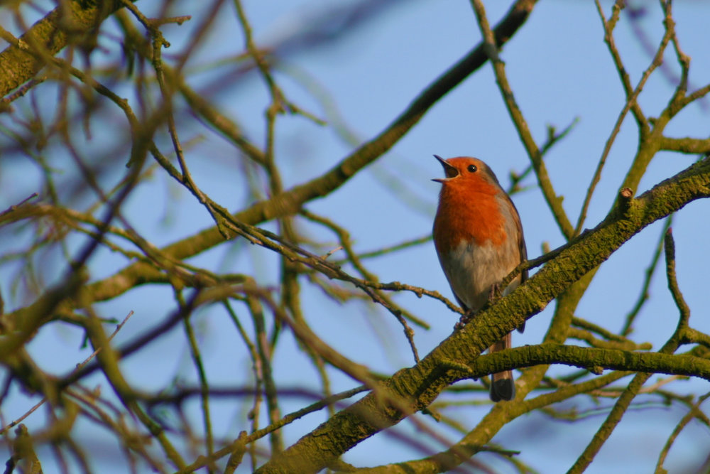 A robin displaying territorial singing behaviour