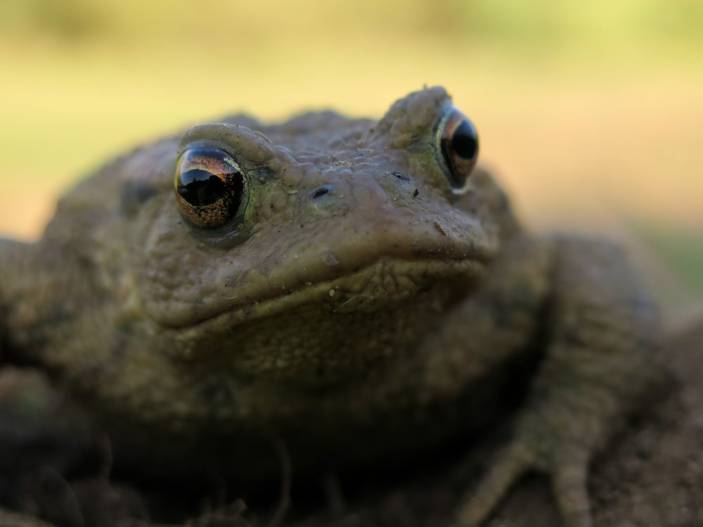 Common toad captured during amphibian surveys