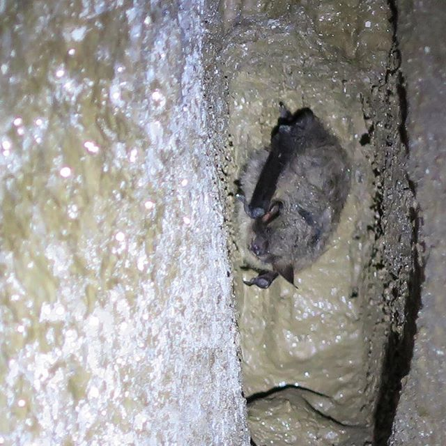 This photograph of a myotis bat was taken by one of our LSC ecologists during a winter hibernation survey in caves in Cumbria. We have a team bat workers who are licenced to undertake surveys, including for hibernating bats. As spring advances and temperatures warm, we move from the 'hibernation' season to the 'transitional' season. This is the period between the winter - when the bats lower their activity levels or become torpid to conserve energy - and the summer - when female bats form maternity colonies to rear their young. If you are looking to undertake a project in 2017, and bat surveys may be needed, now is an ideal time to carry out a scoping survey of buildings to identify whether further summer surveys might be needed. This means you can plan for the timeframes required, and get your activity surveys booked in early! Check out our full range of bat surveys and services at our website https://www.landscapescienceconsultancy.com/bat-surveys-overview #ecology #bats