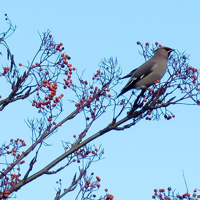 We were treated to a visit from #waxwings in our home town of #Grantham in February. This winter has been a good year for sightings with large numbers coming across from Scandinavia and Russia. They feed on berries, and the ornamental planting around retail and commercial parks often includes species such as rowan which are a real draw to flocks of these starling-sized birds. LSC offer a range of bird surveys - from wintering and breeding bird surveys to habitat design and pre-clearance nesting checks. With the warm spring in 2017, nesting may start early and it's important to ensure that your site does not have any nesting birds before starting vegetation clearance - we can help! Check out our full range of bird-related services at https://www.landscapescienceconsultancy.com/bird-surveys-overview #ecology