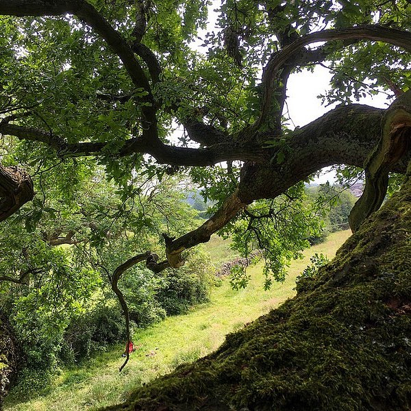 This is the view from the canopy on one of our recent tree climb and inspect surveys in Derbyshire.  Our CS38 qualified climbers ascend the tree and use an endoscope to check cavities and other potential roost features (PRF's) to assess their suitability for bats and search for signs of occupation. This might include finding the bats themselves, or perhaps droppings or other evidence.  Find out more about our aerial inspection services on our website here! https://www.landscapescienceconsultancy.com/aerial-inspections