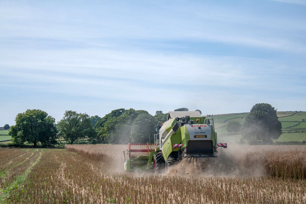 rapeseed oil harvest
