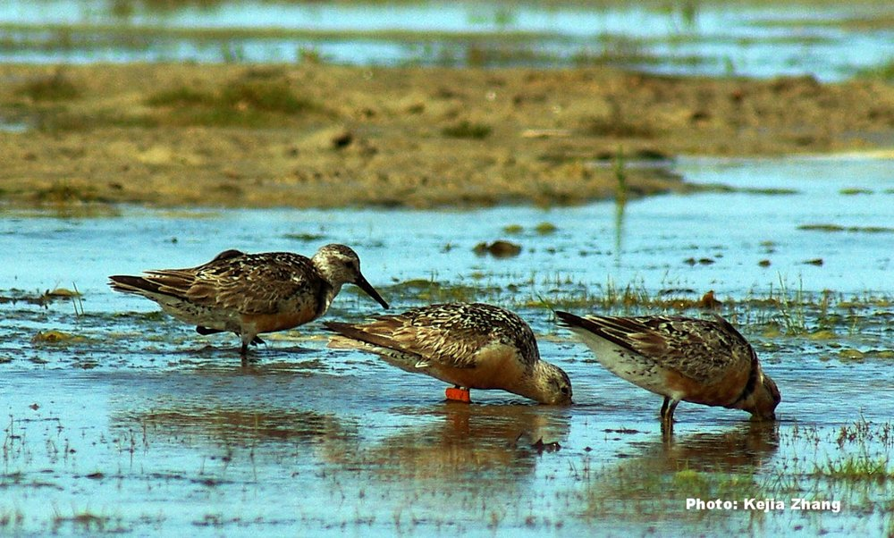 Feeding Red Knots at Piskwamish. Photo courtesy of Kejia Zhang.