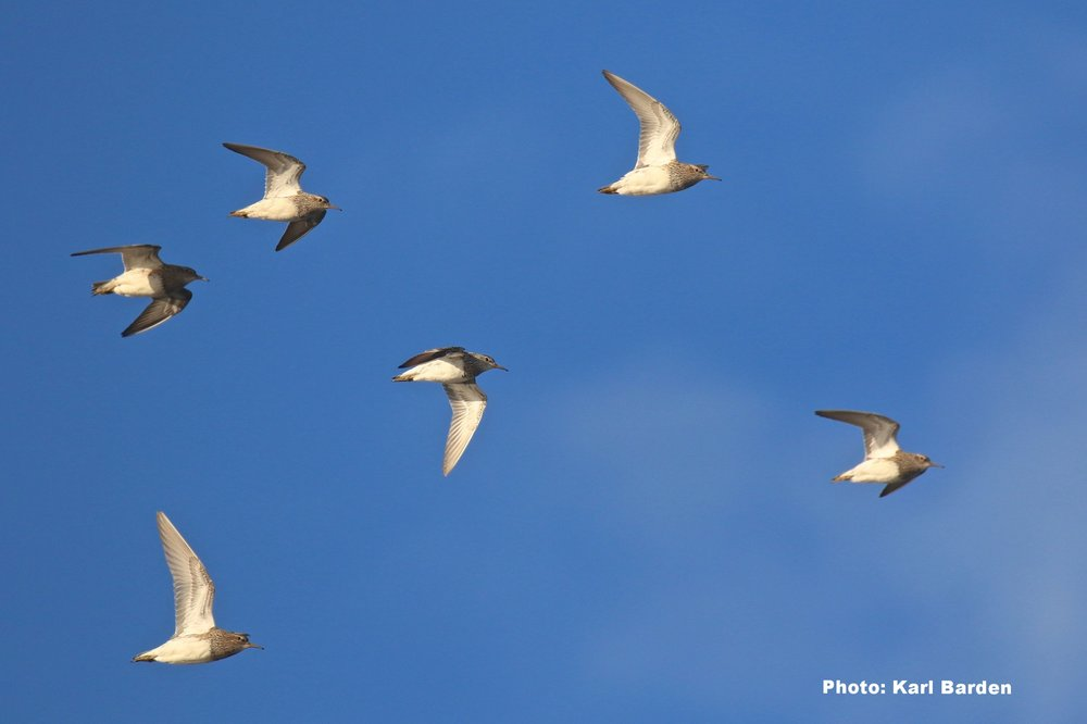 Pectoral Sandpipers in flight. Photo courtesy of Karl Barden.