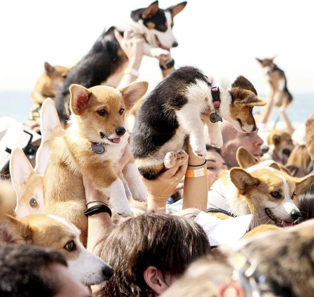 Image courtesy of SoCal Corgi Beach Day