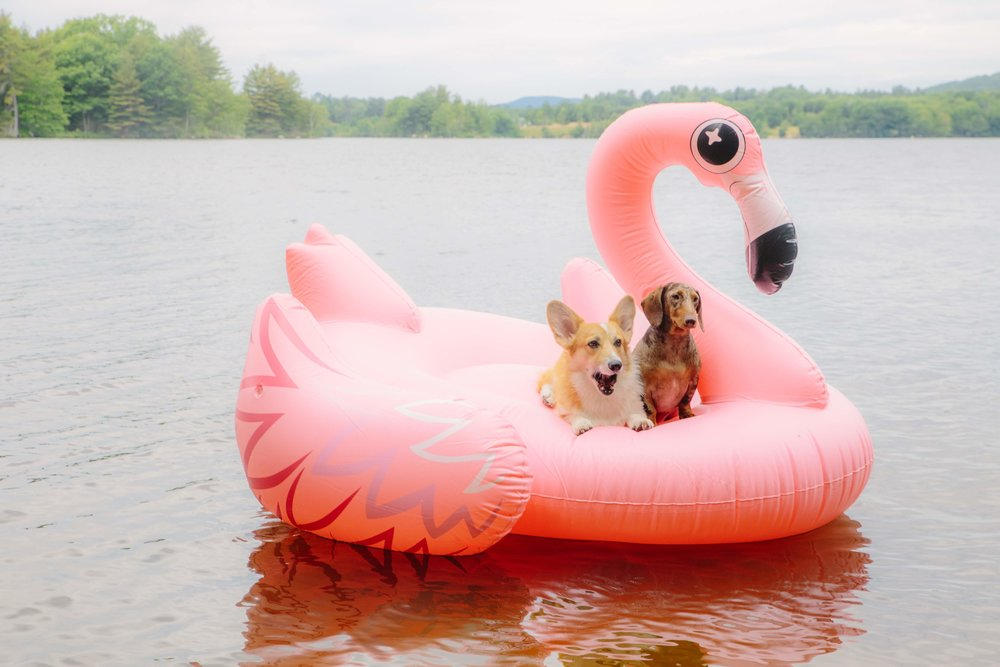 corgi and dachshund flamingo pool float