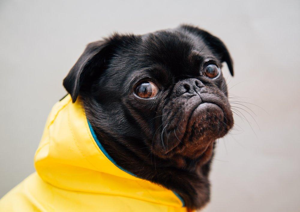 Pug in Raincoat on Dog Lifestyle Blog, The Dapple