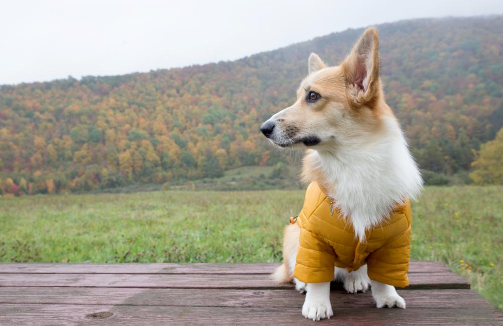 Corgi Fall Coat on The Dapple Dog Lifestyle Blog