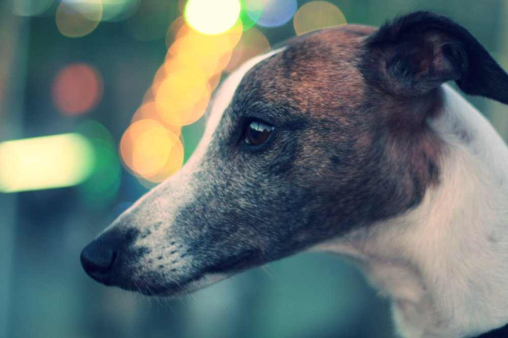Greyhound Rescue on The Dapple Dog Lifestyle Blog