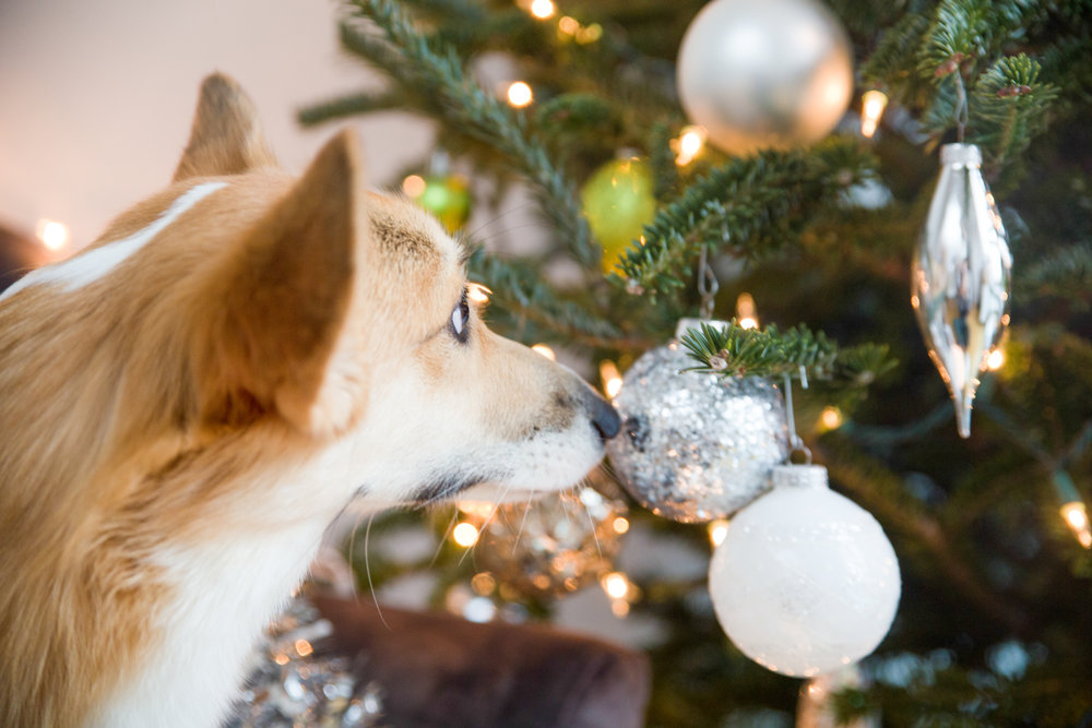 Corgi Christmas Tree Picture on The Dapple
