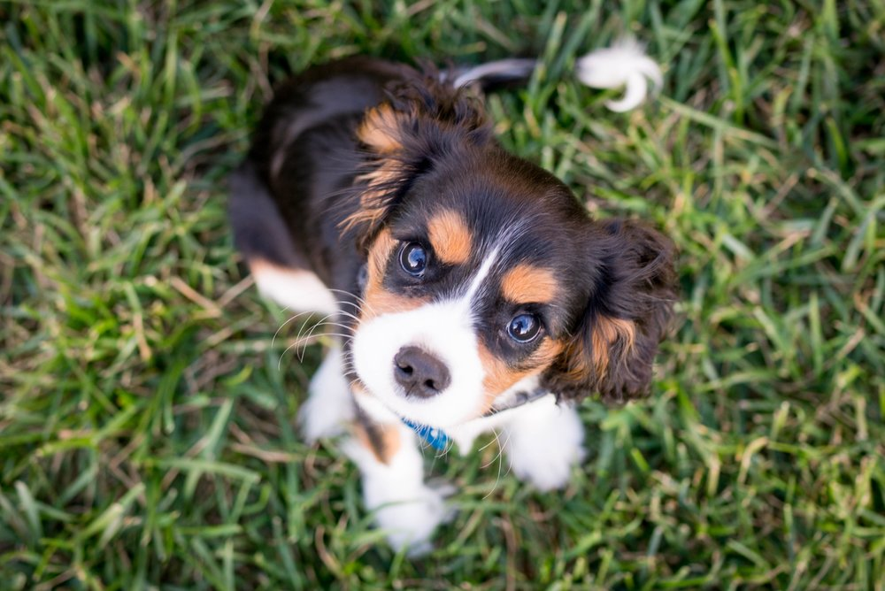 Puppy Bowl 2019 on The Dapple Dog Lifestyle Site