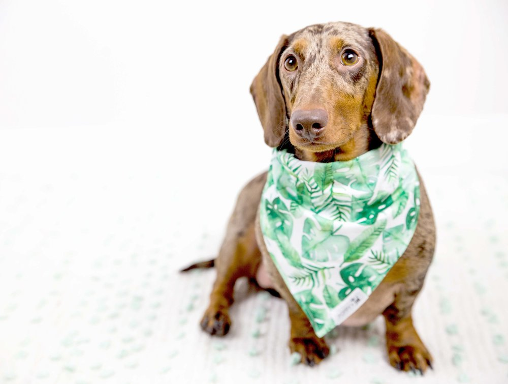 Cute Dapple Dachshund on The Dapple Dog Lifestyle Site
