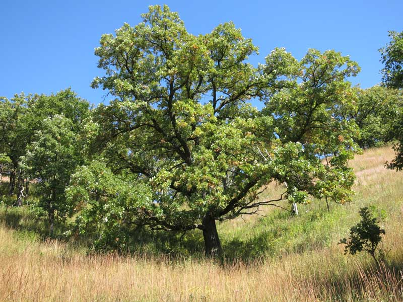Bur Oak is the signature tree of the oak savanna. It is in the White Oak family, and can live more than 200 years. It is among the  longest living plants in the midwest.
