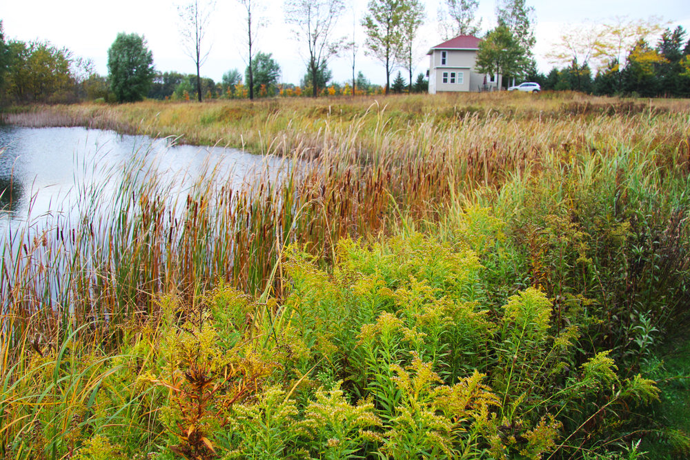 We had this pond dug and, over time, seeded it with wetland grasses and flowers--Cord Grass, Indian Grass and Goldenrod.