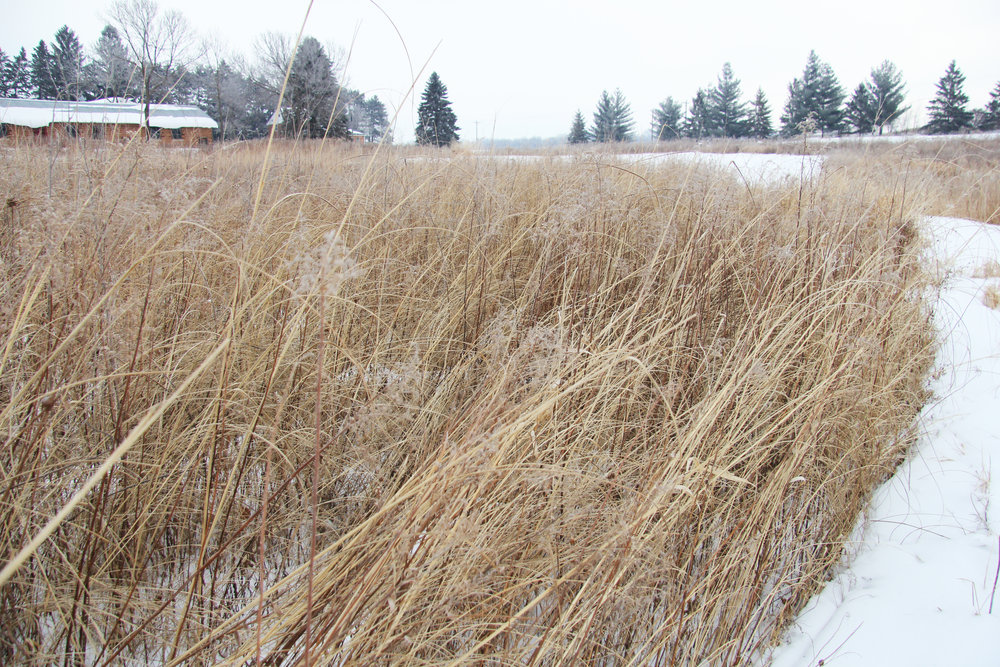 Grasses too have interesting texture in winter, when they are dried out. This was taken right after a five-inch snow fall, but the grass is still upright. Particularly attractive is the Cordgrass, the grass that has the long, slowly curving  downward blades.
