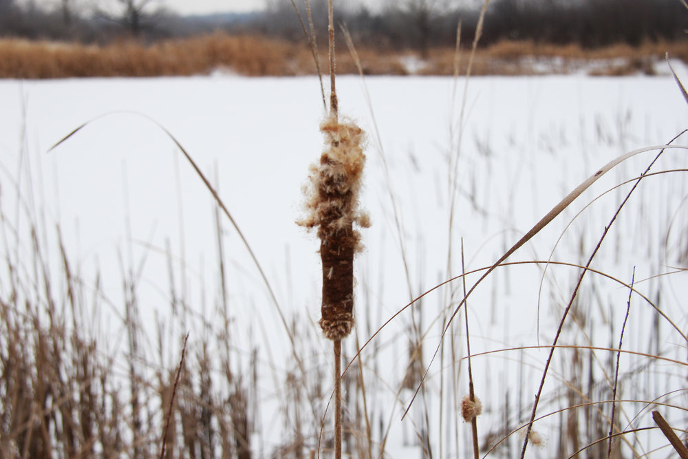 February is the month that one can see the cattails seed out.