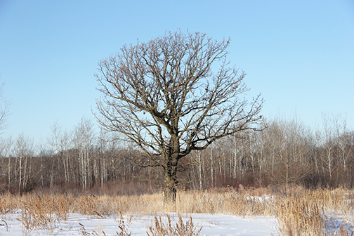 This Bur Oak is easily three feet in diameter, making it a two hundred year old tree. It has grown in a lower, wetter part of our land.