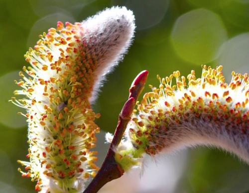 Male catkin of Pussy Willow getting ready to pollinate. Photo from Chestnut School of Herbal Medicine